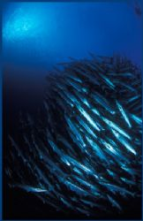 school of Barracuda and diver silhouette in the Solomons.... by Fiona Ayerst